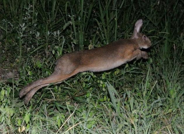 ニホンノウサギの画像 p1_16