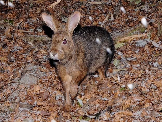 ニホンノウサギの画像 p1_9