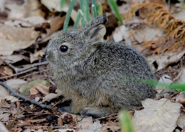 ニホンノウサギの画像 p1_34